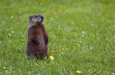 Fun Facts about Groundhog's Day