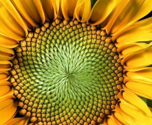 The hypnotic pattern of sunflowers www.treehugger.com
